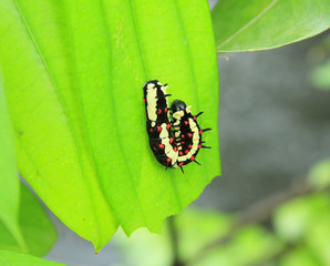 Caterpillar on green leaf background