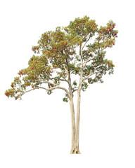 Dipterocapus Intricatus, blossoming tropical tree