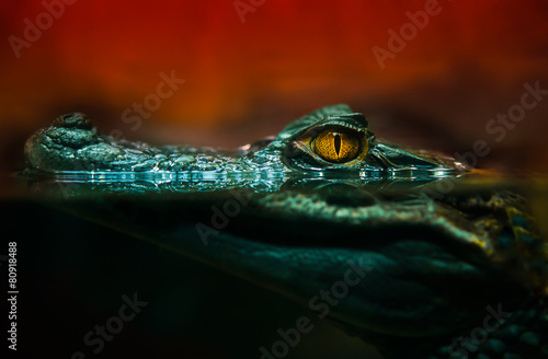 Fotobehang Krokodil crocodile alligator close up