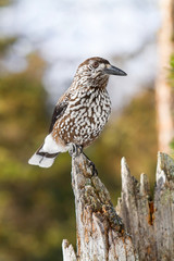 Nutcracker (Nucifraga caryocatactes) bird
