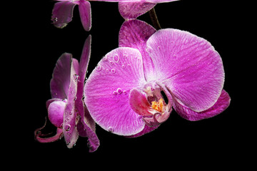 Pink tropical orchid under water