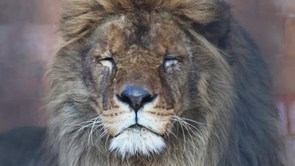 Male Lion close up head