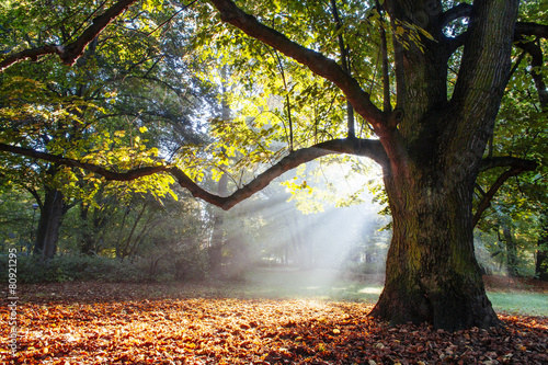 Foto op Canvas Bossen mighty oak tree