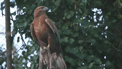 Wild Eagle on tree