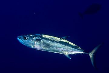 Yelllowfin tuna underwater