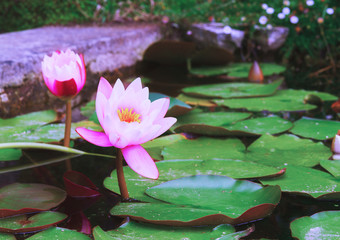 pond with lotus flowers