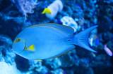 Yellowfin Surgeon Fish poster