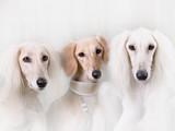Portrait of three dog breeds Persian Greyhound