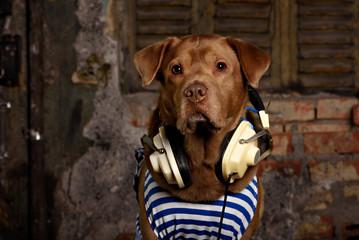 labrador  listening to music in Headphones