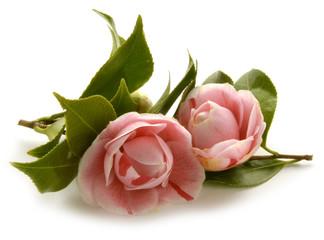 ツバキ属 Camellia Kamelien Camélia Камелия كاميليا