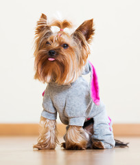 Funny Yorkshire Terrier in overall