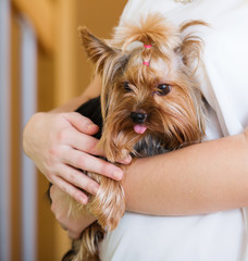 Yorkshire Terrier on owner's hands