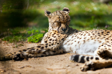 Cheetah lying over ground