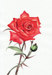 Red rose watercolor painting