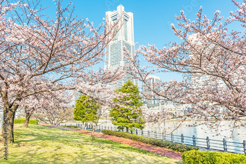 Papiers peints Japon Cherry blossom trees at Minato Mirai 21 area in Yokohama, Japan
