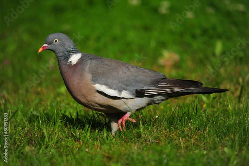 Papiers peints Oiseau Pigeon ramier