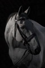 Horse - Equus ferns caballus