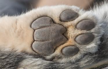 Snow Leopard paw macro
