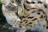 Serval (Leptailurus serval) - 80962073