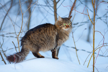 Cute siberian cat walking on the snow