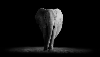 Elephant  with dark background