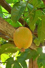 Baby Jackfruit Spiny Bitter Gourd