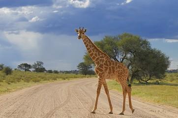 Giraffe (giraffa camelopardalis)- Kgalagadi Nationalpark