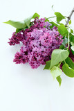 Lilac on white background