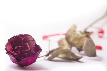 Dry red pink rose on white background