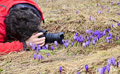 Photographer taking macro pictures of Crocus flowers in spring