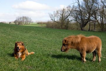 Hund und Zwrgpony Fohlen in der Natur