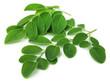 Leinwanddruck Bild - Moringa leaves
