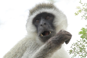Portrait of a vervet monkey on a white background