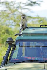 Vervet monkey on the canopy of a jeep