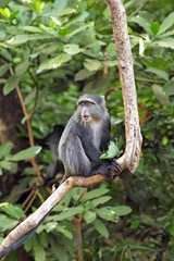 A blue diademed monkey on a branch in Lake Manyara