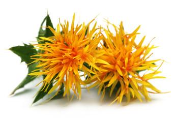 Yellow Safflower