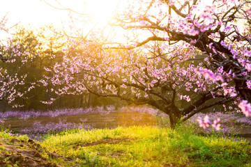 peach blossom,green grass with sunshine
