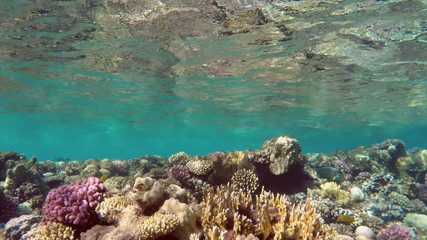 many surgeon fish swims among the corals in the Red Sea