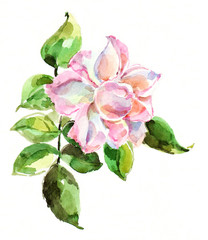 Pink rose, watercolor