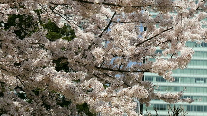 Blooming cherry blossoms in Shinjuku office area