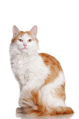 Бело рыжий кот