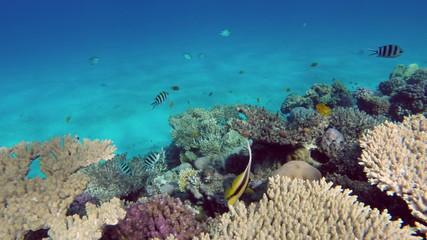 Pennant coralfish (Heniochus acuminatus) or bannerfish in the Re