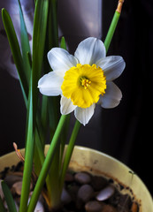 pianta e fiore di narciso