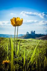 Tulipani fioriti nelle Langhe