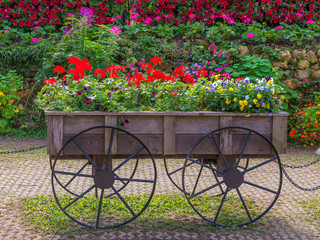 Colorful of petunia flowers on trolley or cart wooden in garden