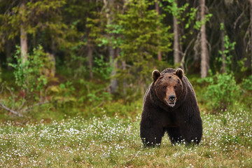 Beautiful big brown bear in finnish taiga