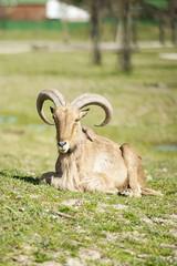 Mouflon,