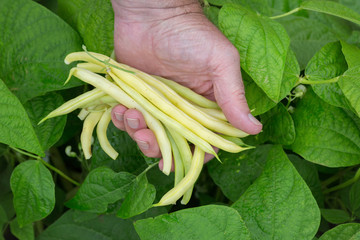 Fresh Picked Yellow Beans