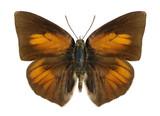Butterfly Curetis acuta