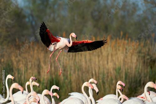 Foto op Aluminium Flamingo Greater Flamingo in flight